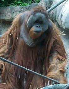 220px-orangutan1